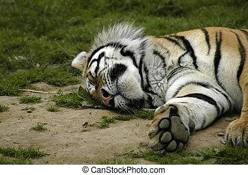 tiger, eingeschlafen