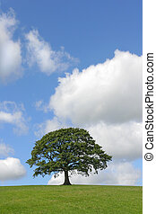 The Mighty Oak - Oak tree in full leaf standing alone in a...