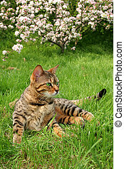 Bengail Cat - Bengali special breed cat sitting on the grass...
