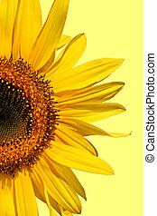 Sunflower Beauty - Half segment of a flowering sunflower...
