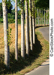birches - avenue in wiggly line in the tuscan