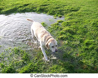 by the puddle - labrador walking out of a puddle onto the...