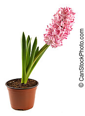 Hyacinth-decorative indoor plant in a flowerpot on white...
