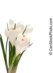 White crocus on white - Beautiful white crocus on a white...