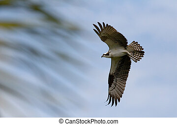 In Flight - An Osprey in flight
