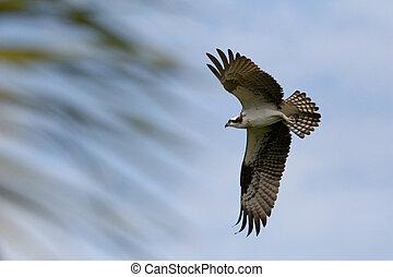 In Flight - An Osprey in flight