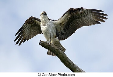 Spread your Wings - An Osprey spreading its magnificent...