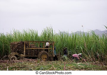 workers sugar-cane - workers cutting sugar-cane