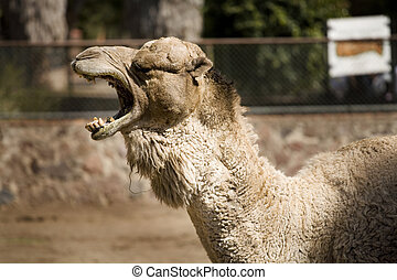 One Cool Camel - Photo of a camel posing for the camera.