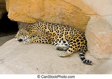 Just Napping - Photo of a leopard enjoying his afternoon...