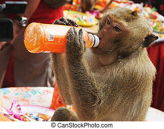 Thirsty monkey - Monkey drinking from an orange juice bottle
