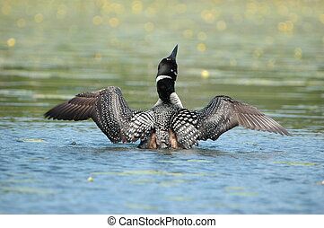 Crazy as a Loon - Loon Dancing on a Minnesota Lake