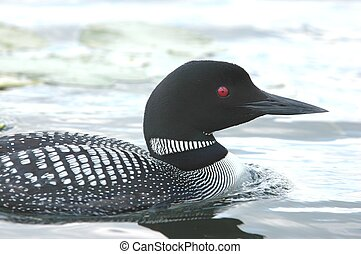Ole Red-Eye - Common Loon close-up on a Minnesota Lake