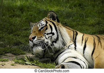 tiger, schauen