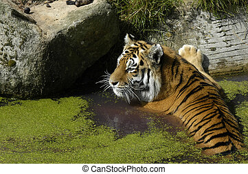 tiger, Wasser