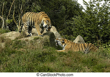 Tiger, zwei