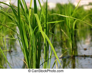 Closeup of Rice Seedlings - -- they will later be separated...