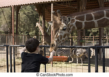 Boy Feeding Giraffe - Photo of boy feeding a giraffe some...