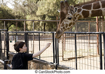 Boy Feeding a Giraffe - Photo of boy feeding a giraffe at...