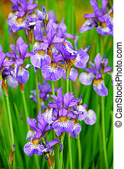 Irises - Beautiful purple irises blooming in spring time
