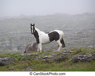 Piebald horse. - Black and white horse (piebald) roaming on...