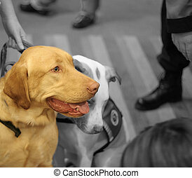Dog - Mature service dog and young service dog in training...