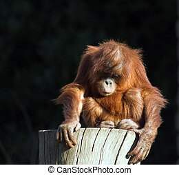 Baby orang utan - A baby orang utan playing on a log