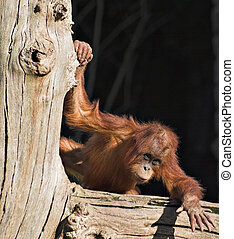 Baby orang - A baby orang utan playing on a log