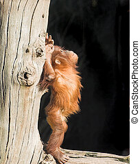 Baby orang - A baby orang utan playing in the sun