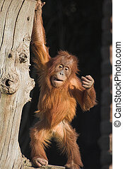 Orang - A beby orang utan playing on a log