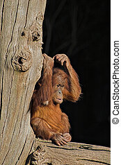 Baby orang utan - A baby orang utan sitting on a log