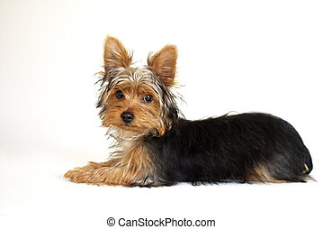 Yorkshire Terrier - young Yorkshire Terrier puppy against...