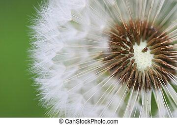 Dandelion - blown dandelion