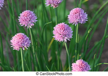 Chives - Purple Chives