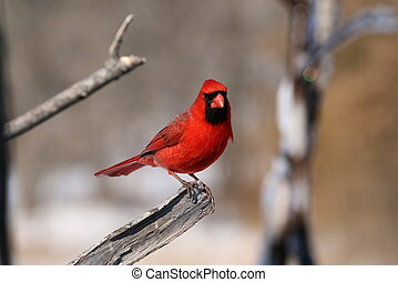 A Cardinal Portait 2 - After I took the first one, he looked...