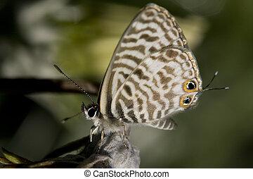 little butterfly with eye pattern on wings