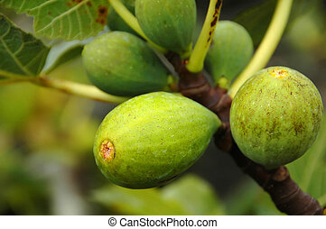 Figs on a fig tree in the Azores - Figs on a fig tree on the...
