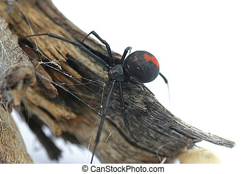 Redback Spider - Macro of Redback Spider on branch, over...
