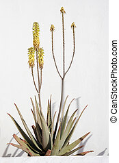 Aloe Vera - Flowering Aloe Vera plant growing against white...