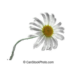 Camomile - The image of a camomile on a white background