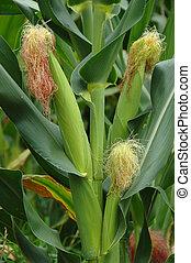 Corn stalk in a corn field on the island of Pico, Azores -...