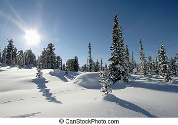 Winter scene - Pine trees covered with fresh snow Sunny day...