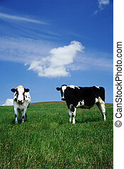 Happy Cows - two milk cows content and calm in an open...