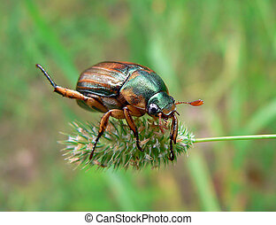 Beetle (Rhombonyx testaceloes ussuriensis) - Close-up of a...