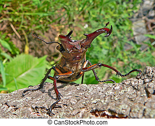 Stag-beetle - Close-up of a stag-beetle on a tree. In front....