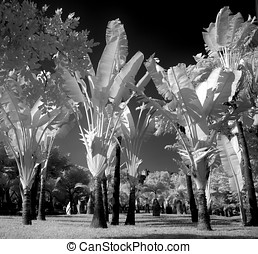 Eerie Palm Trees - -- this is a true infrared image