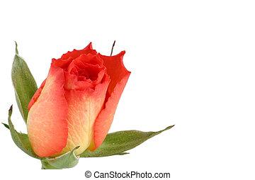 tea-rose rosebud set in the corner isolated overwhite