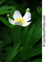 Wood anemone - Spring wild flower wood anemone close up
