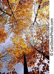 Fall maples - Colorful maple tree tops in the fall