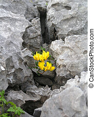 Burren wildflower - The Burren wild flowers, a birds foot...